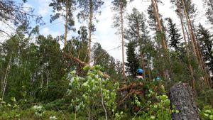 Useita puita kaatui sähkölinjoille esimeriksi Liperissä.