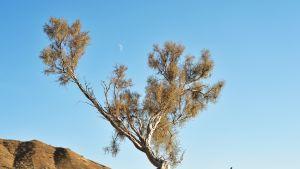 Saksaulipuu aavikolla Kazakstanissa.