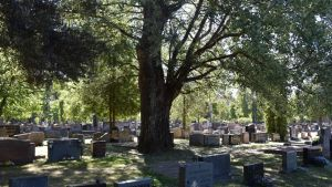 suuri puu hautausmaalla
