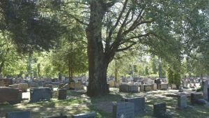 puu hautausmaalla
