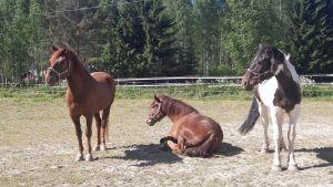 Hevosia laitumella