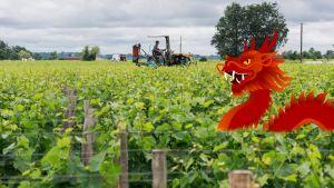 Kiinalainen pohatta rohmuaa Ranskasta peltoja, jotta Kiinan nuoret pääsevät patongin makuun