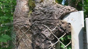Aidan ympärille kasvanut puu lähikuvassa