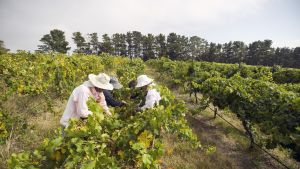 Sesonkityöntekijät keräävät viinirypäleitä Australian Canberrassa.