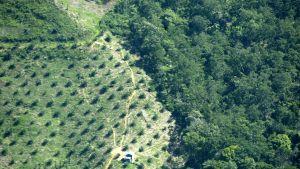 Palmuöljyviljelmä, joka rajautuu Lauserin kansallispuistoon Acehissa, Indonesiassa.