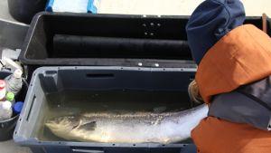 tutkija mittaa lohta Tornionjokisuulla