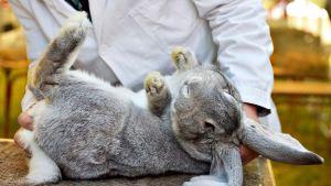 Iso harmaa kani makaa selällään tutkimuspäydällä.