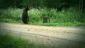 Karhu riistakamerakuvassa.