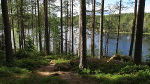 Polku männikössä ja taustalla Kuorejärvi.