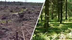 Avohakkuu ja metsä