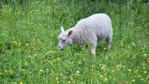 Lammas niityllä.