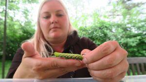 Laura Rostedt ja syreenikiitäjän toukka
