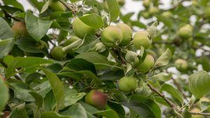 Omenoita omenapuussa.