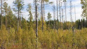 Syyskuussa 2009 Padasjoen metsäpalosta on kulunut seitsemän vuotta. Lehtipuutaimikko kasvaa runsaana.