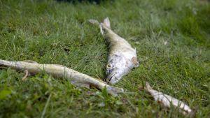 Kuolleita kaloja Vihdin Enäjärven rannalla
