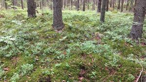Kuivaa metsäpohjaa