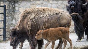 Bora-niminen kahden viikon ikäinen amerikanbiisoni (Bison bison) emonsa vieressä Pecsin eläintarhassa Pecsissä, Budapestin eteläpuolella Unkarissa, 14. kesäkuuta 2018. Vasikka syntyi 30. toukokuuta. Se on vanhempiensa viides jälkeläinen.