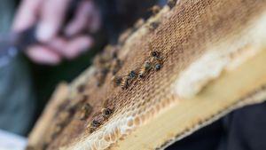 Mehiläisiä pesän kennolla.