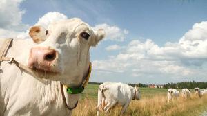 Lehmiä ulkona.