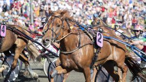 Kuningatarkilpailun ensimmäisen osalähdön voitti Akaasia (nro 2) ohjastajaan Markku Hietanen Kuninkuusraveissa Rovaniemen raviradalla.