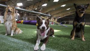 Kolme koiraa poseeraa agility-hallissa.