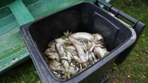 Suurin osa kuolleista kaloista on siivottu rannalta roska-astiaan.