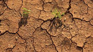 Lähikuva kuivuneesta maasta.