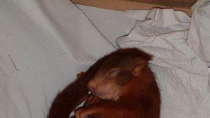 Karlsruhen poliisin välittämä kuva Karl-Friedrich-oravasta, joka on päätynyt poliisiaseman lemmikiksi.
