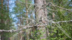 Männyn kuivuneita oksia yläsavolaisessa metsässä.