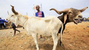 Valkoinen ja ruskea lammas nuoren pojan kanssa karjamarkkinoilla.