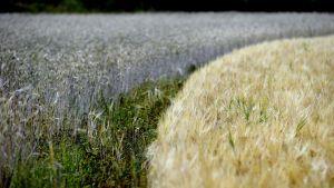 Kuivuudesta kärsinyttä keltaista ohrapeltoa ja ruispeltoa Rauhamäen tilalla Hollolassa 7. elokuuta
