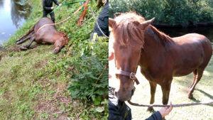 Hevonen lepää joen vieressä ja toisessa kuvassa seisoo omin jaloin