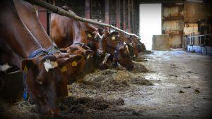 Lehmiä Kairisen tilalla Maskussa.