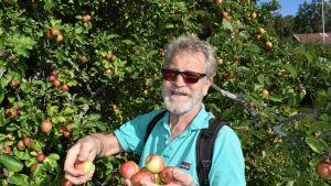 Puutarhaneuvos Arno Kasvi iloitsee hyvästä omenasadosta.