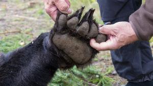 Metsästäjä levittää karhun tassua