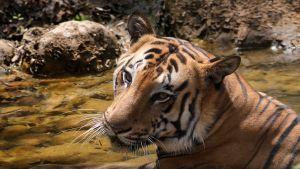 Bengalintiikeri viilentyi intialaisessa eläintarhassa helteen aikaan. Kuvassa ei ole saman lajitoverin edustaja, joka saa käpäläproteesin.
