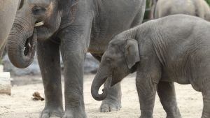 Aasialainen emonorsu Farina ja sen poikanen Ta Wan seisovat Pairi Daizan eläintarhassa Belgiassa.
