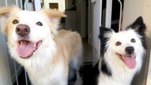 Kaksi koiraa poseeraa kameralle.