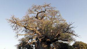 Arviolta 6 000 vuotta vanha apinanleipäpuu Limpopossa, Etelä-Afrikassa.