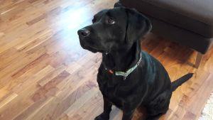 Labradorinnoutaja istuu lattialla