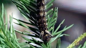 Havununnan toukka (Lymantria monacha).