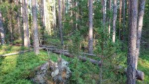 Viitasen tilan metsää.
