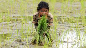 tyttö riisipellossa