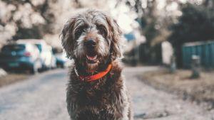Pörröinen koira, jolla on punainen kaulapanta, istuu kadulla.