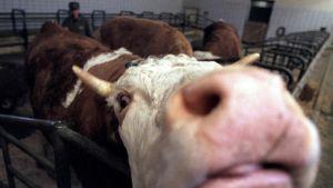Lehmä eläinlääketieteellisessä testinavetassa Itävallassa