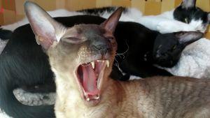 Cornish rex -kissa haukottelee. Taustalla loikoilee pari maatiaiskissaa.