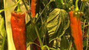 Suippopaprika närpiöläisessä kasvihuoneessa.