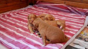 Koirapennut ovat suloisia ja herättävät monen hoivavietin.