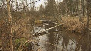 Ylitorniolla majava on kaatanut talvea varten koivuja puronvarrelta.