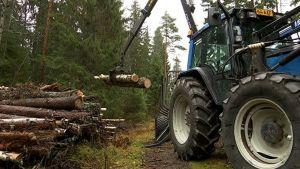 Puita siirretään traktorin lavalta puupinoon kuivumaan